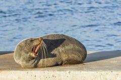 落日紧张地阐明的美好的海狮咆哮声,Kingscote,坎加鲁岛,澳大利亚南部 免版税图库摄影