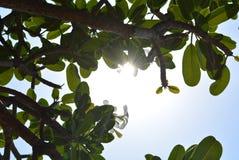 落的光芒通过叶子 免版税库存照片