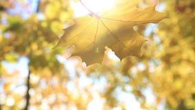 落的叶子槭树 金黄秋天 股票录像