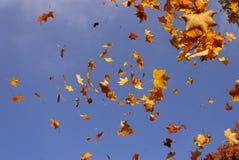 落的叶子槭树 免版税图库摄影