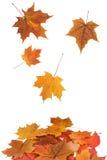 落的叶子槭树 免版税库存照片