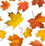 落的槭树叶子无接缝的纹理  库存图片