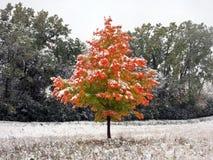 落的槭树雪结构树 免版税图库摄影
