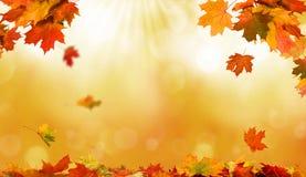 落的秋天槭树离开自然本底 免版税库存照片