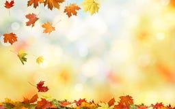 落的秋天槭树离开自然本底 图库摄影