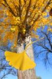 落的银杏树叶子结构树 库存图片