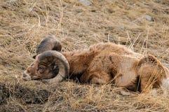 落矶山脉大有角的绵羊 库存照片