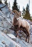 落矶山脉大角野绵羊羊属canadensis 库存图片