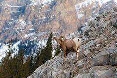 落矶山脉大角野绵羊羊属canadensis 图库摄影