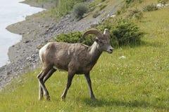 落矶山脉大角野绵羊-贾斯珀国家公园,加拿大 免版税库存照片