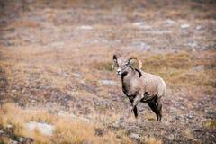 落矶山脉大角野绵羊(羊属canadensis) 库存照片