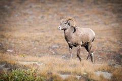 落矶山脉大角野绵羊(羊属canadensis) 免版税图库摄影