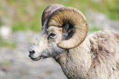落矶山脉大角野绵羊(羊属canadensis) 免版税库存照片