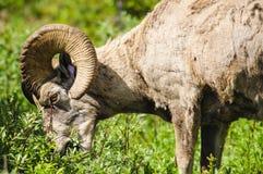 落矶山脉大角野绵羊(羊属canadensis) 免版税库存图片