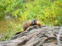 落矶山黄腹吸汁啄木鸟的土拨鼠 图库摄影