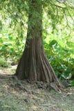 落羽松distichum树干有绿色植被背景 免版税库存图片