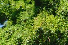 落羽松distichum锥体有绿色植被背景 免版税图库摄影
