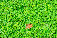 落花生属pintoi植物 库存照片