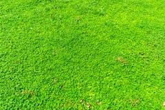 落花生属pintoi植物 库存图片