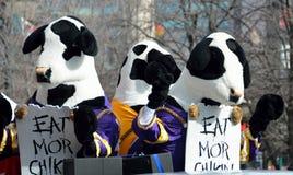 著名'吃平均观测距离Chikin'母牛 免版税库存图片