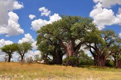 在Nxai平底锅,博茨瓦纳的Baines猴面包树 免版税库存照片
