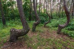 著名弯曲的森林 免版税库存图片