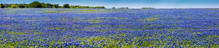著名得克萨斯矢车菊的一个美好的领域的一幅广角高分辨率全景 免版税库存照片