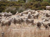 著名澳大利亚绵羊。 库存图片