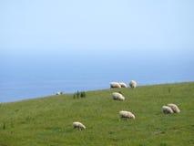 著名澳大利亚绵羊。 免版税库存照片