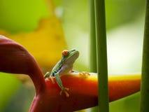 著名红眼睛的雨蛙 免版税库存照片