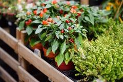 著名花市场在阿姆斯特丹Bloemenmarkt 红色的辣椒 免版税库存图片