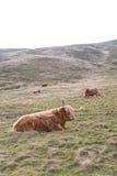 著名长毛的在基于蜂蜜酒的苏格兰小山的咕咕声长的头发母牛 免版税库存图片