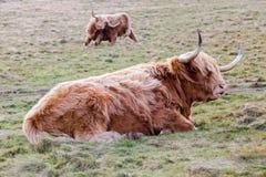 著名长毛的在基于蜂蜜酒的苏格兰小山的咕咕声长的头发母牛 免版税图库摄影