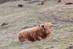 著名长毛的在基于蜂蜜酒的苏格兰小山的咕咕声长的头发母牛 免版税库存照片