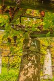 著名Piedmontese酒Nebbiolo卡雷马D的葡萄园的典型定向塔石头和石灰 O C意大利 图库摄影