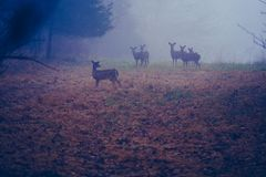 葛底斯堡,PA/美国12月:2018年:站立在有秋天的一个草甸的白尾鹿小牧群在地面上 图库摄影