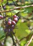 葡萄。 免版税库存照片