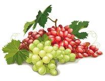 葡萄不同的种类静物画  免版税库存图片