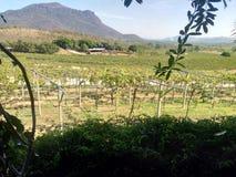 葡萄农场在泰国 免版税库存图片