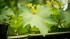 葡萄叶子。 免版税库存图片