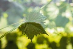 葡萄叶子取暖在阳光下 免版税库存照片