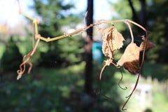 葡萄叶子在秋天 库存照片