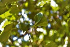 葡萄叶子在阳光下 免版税库存图片