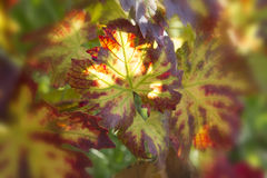 葡萄叶子特写镜头在阳光下 库存图片