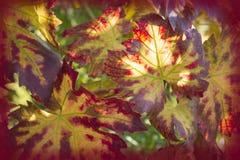 葡萄叶子特写镜头在阳光下 免版税库存照片