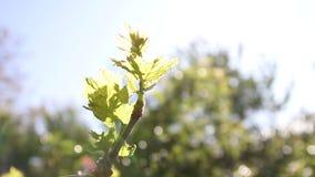 葡萄叶子通过明亮的夏天太阳 股票视频