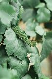 葡萄叶子,原料在葡萄园里 免版税库存图片
