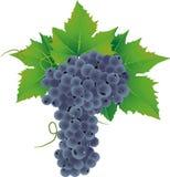 葡萄向量 免版税图库摄影