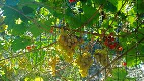 葡萄和蕃茄在晴朗的天气 免版税图库摄影