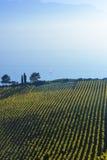 葡萄园、湖和山,瑞士风景 库存照片